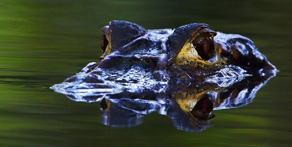 A Black Caiman prowles a jungle stream in Amazonian Ecuador.